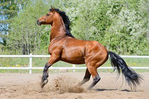 Horse of Ukrainian riding breed