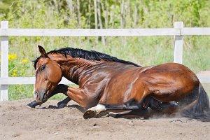 Bay stallion rolls