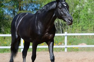 Horse of Russian riding breed