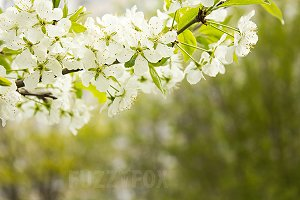 Cherry blooming branch tree