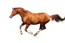 Sorrel horse on white background