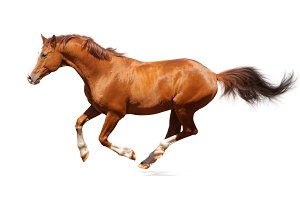 Sorrel horse on white background
