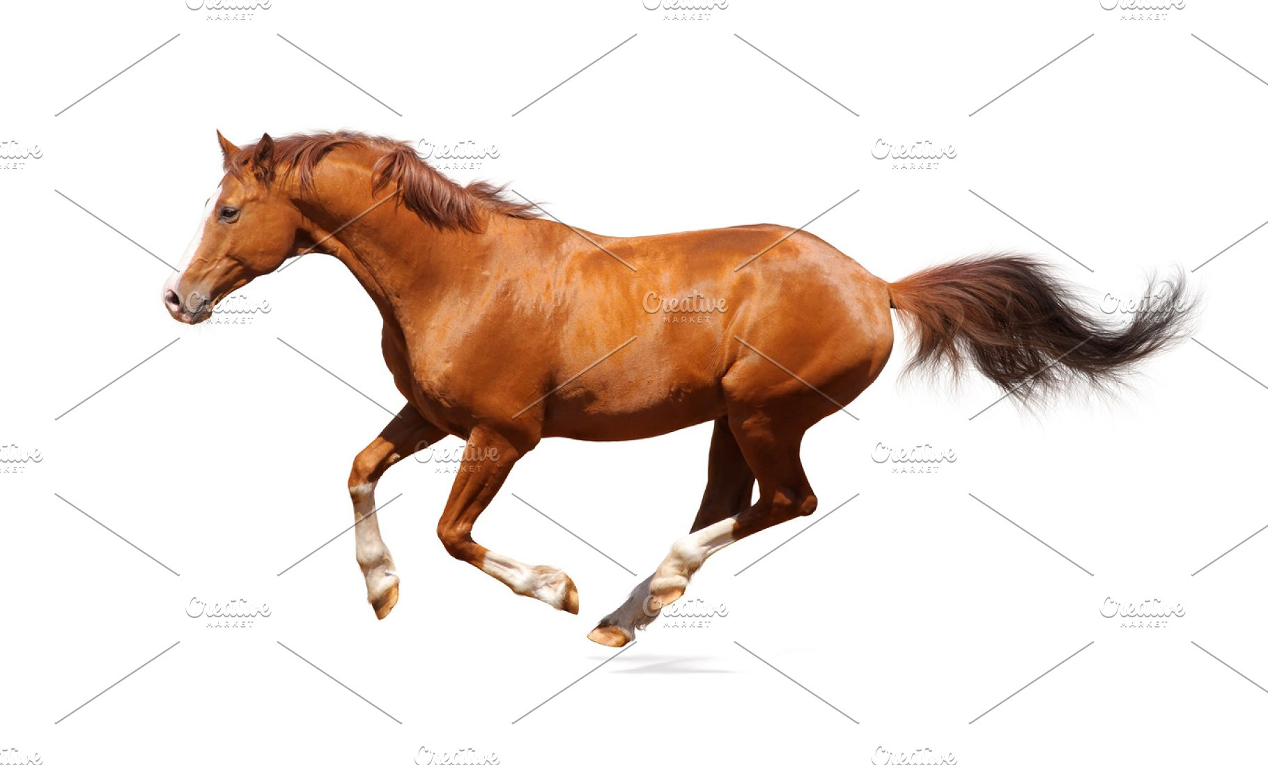 Sorrel horse on white background | High-Quality Animal Stock ...