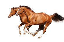 Two horses on white background