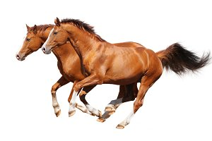 Two horses on white background