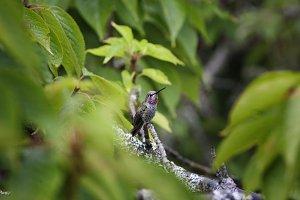Oregon Hummingbirds