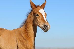 Newborn sorrel foal