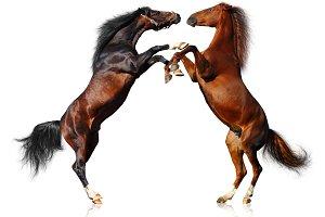Battle of horses. Isolated on white.