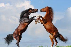 Battle of horses