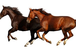 Galloping horses. Isolated on white