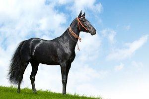 Black akhal-teke horse