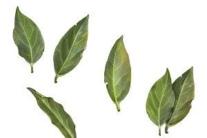 Bay Leaves Pencil Drawing