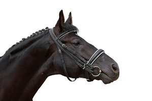 Portrait of black sport horse