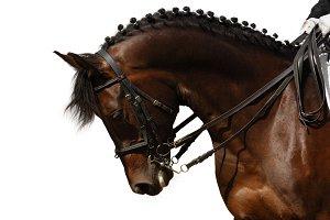 Bay sport horse