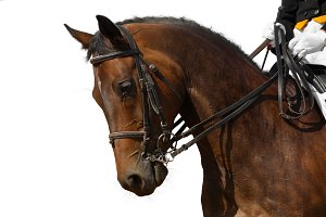 Portrait of bay sport horse