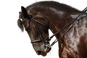 Portrait of black sport horse