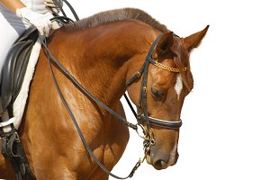 Portrait of sorrel sport horse