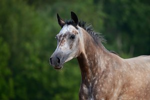 Red-gray arabian mare