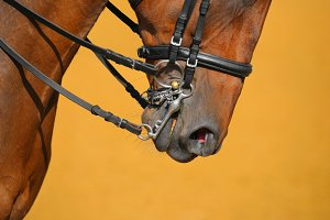 Dressage - muzzle of bay horse