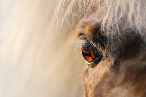 Eye of American miniature horse