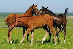Three foals in field