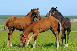 Three foals in field