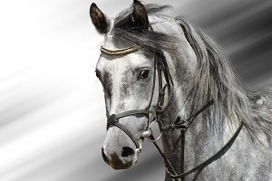 Dapple-grey Arabian horse