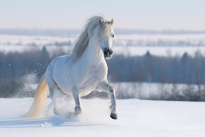 Galloping white horse