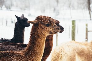 Alpaca in the snow