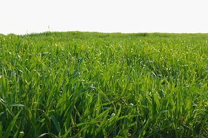 grass field isolated