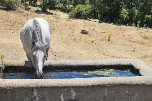 White horse drinking water