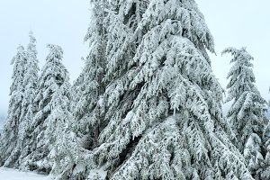 Icy snowy fir trees