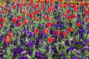 Tulips and pansy