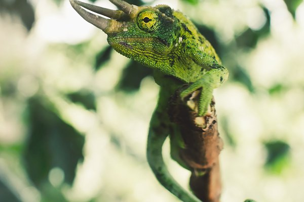Jackson S Chameleon In Hawaii High Quality Animal Stock Photos