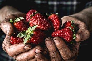 Farmer holding fresh strawberries
