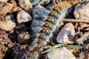Pine caterpillars