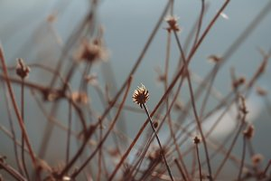 Dried plants