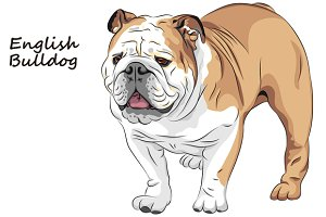 Dog English Bulldog