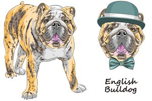 Dog English Bulldog SET
