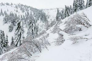 Icy snowy fir trees