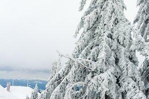 Icy snowy fir trees.