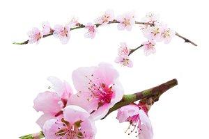 Cherry twig