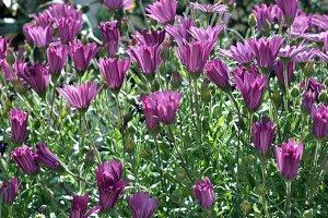 purple daisies closed