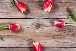 Circle of Tulips