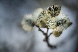 Catkin blossom