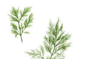 Dill Pencil Drawing Isolated