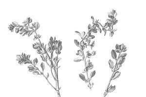 Black & White Marjoram Illustration