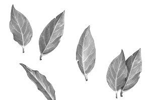Bay Leafs Black & White Illustration