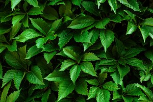 Nature background with ivy green