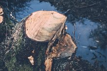 Tree Stump (Spring in the Forest)
